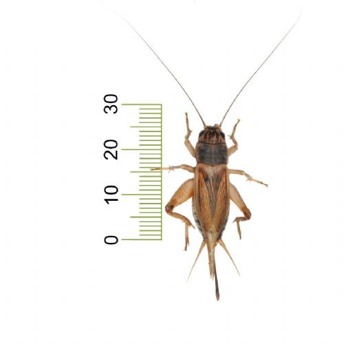 Large Silent Crickets (25-30mm)